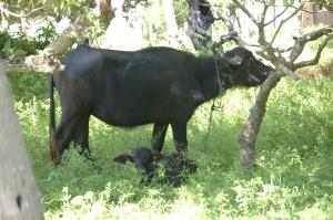 buffalo on marajó